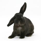 Black Rabbit with Windmill Ears