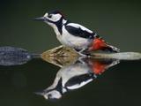 Great Spotted Woodpecker (Dendrocopus Major) at Water  Pusztaszer  Hungary  May 2008