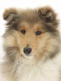 Portrait of a Rough Collie Puppy  14 Weeks