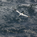 Northern Gannet (Morus Bassanus) in Flight  St Kilda Archipielago  Outer Hebrides  Scotland  June