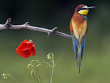 European Bee-Eater (Merops Apiaster) Perched Beside Poppy Flower  Pusztaszer  Hungary  May 2008
