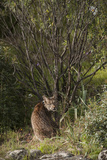 Wild Iberian Lynx (Lynx Pardinus) One Year Old Male with Gps Tracking Collar  Sierra Morena  Spain