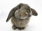 Agouti Lop Rabbit