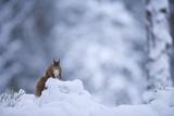 Red Squirrel (Sciurus Vulgaris) in Snow  Glenfeshie  Cairngorms Np  Scotland  February 2009