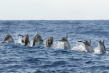 Rear View of Atlantic Spotted Dolphins (Stenella Frontalis) Porpoising  Pico  Azores  Portugal