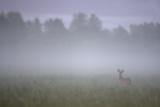 Roe Deer (Capreolus Capreolus) Buck in Wet Meadow at Dawn  Nemunas Delta  Lithuania  June 2009