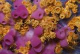 Yellow Encrusting Anemones (Parazoanthus Axinellae) and Sponge (Haliclona Mediterranea) Corsica