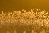 Common Reed (Phragmites Australis) Backlit in Evening Light  Lithuania  May 2009