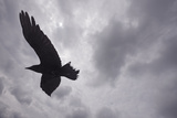 Raven (Corvus Corax) in Flight  Silhouetted  the Burren  County Clare  Ireland  June 2009