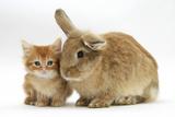Ginger Kitten with Lionhead-Cross Rabbit