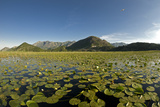 Fragrant Water Lilies (Nymphaea Odorata) on Lake Skadar  Lake Skadar National Park  Montenegro