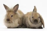 Young Sandy Rabbits