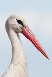 White Stork (Ciconia Ciconia) Portrait  Prypiat Area  Turov  Belarus  June 2009