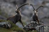 Two Alpine Ibex (Capra Ibex Ibex) Hohe Tauern National Park  Austria  July 2008