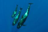 Three Short Finned Pilot Whales (Globicephala Macrorhynchus) Canary Islands  Spain  May 2009