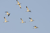 Avocet (Recurvirostra Avosetta) Flock in Flight  Elmley Marshes  Rspb  Isle of Sheppey  UK