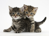 Tabby Kittens  Stanley and Fosset  6 Weeks
