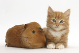Ginger Kitten  7 Weeks  and Red Guinea Pig