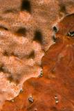 Rock Covered with Encrusting Sponge (Spirastrella Cunctatrix) and (Phorbas Tenacior)  Monaco
