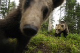 Eurasian Brown Bear (Ursus Arctos) Close Up of Nose While Investigates Remote Camera  Finland