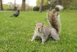 Grey Squirrel (Sciurus Carolinensis) on Grass in Parkland, Regent's Park, London, UK, April 2011 Papier Photo par Terry Whittaker