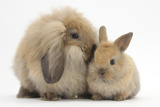 Fluffy Lionhead Cross Lop Rabbit  and Baby