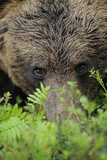 Eurasian Brown Bear (Ursus Arctos) Close-Up of Face  Suomussalmi  Finland  July