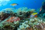 Scorpionfish (Scorpaena Maderensis) Watching Turkish Wrasse (Thalassoma Pavo) Azores  Portugal