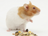 Short-Haired Syrian Hamster with Food Seeds