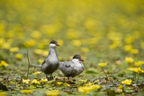 Two Whiskered Terns (Chlidonias Hybridus) on Water with Flowering Water Lilies  Hortobagy  Hungary