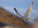 Gyrfalcon (Falco Rusticolus) in Flight  Disko Bay  Greenland  August 2009