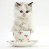 Colourpoint Kitten in a Tea Cup