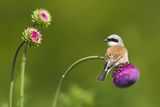 Red-Backed Shrike Male (Lanius Collurio) Male Perched on Musk Thistle (Carduus Nutans) Bulgaria
