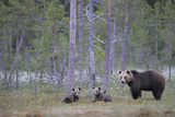 Eurasian Brown Bear (Ursus Arctos) Mother and Cubs in Woodland  Suomussalmi  Finland  July 2008