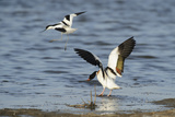 Avocet (Recurvirostra Avosetta) Trying to Drive Shelduck (Tadorna Tadorna) Pair Away  Kent  UK