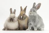 Three Baby Domestic Rabbits