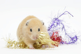 Golden Hamster with Christmas Decorations
