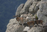 Mouflon (Ovis Musimon) Males on Rock Face  Parc Naturel Regional Du Haut-Languedoc  Caroux  France