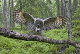 Great Grey Owl (Strix Nebulosa) Landing on Branch  Oulu  Finland  June 2008