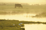 Avocet (Recurvirostra Avosetta) in Mist at Dawn with Cattle Grazing  Thames Estuary  Kent  UK