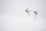 Reindeer (Rangifer Tarandus) Antlers  Body Hidden by Snow  Forollhogna Np  Norway  September 2008