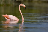 American Flamingo in Water