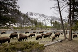 American Bison Herd Grazing in Yellowstone National Park