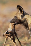 African Wild Dog Carrying Dead Impala Calf
