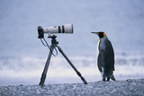 A Curious King Penguin