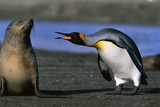 King Penguin Confronting Unconcerned Fur Seal