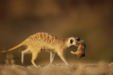 Meerkat Carrying Yearling in Mouth