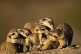 Meerkat Pack in Namibia