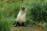 Antarctic Fur Seal Standing by Tussock Grass