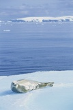 Weddell Seal Resting on Iceberg